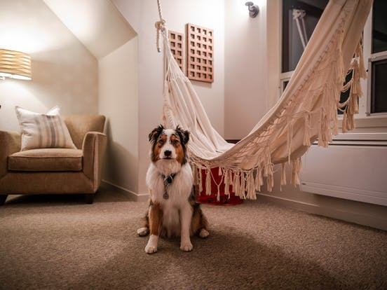 Koda, the Australian Shepherd, sits proudly in front of an indoor hammock inside a North Cascades vacation home
