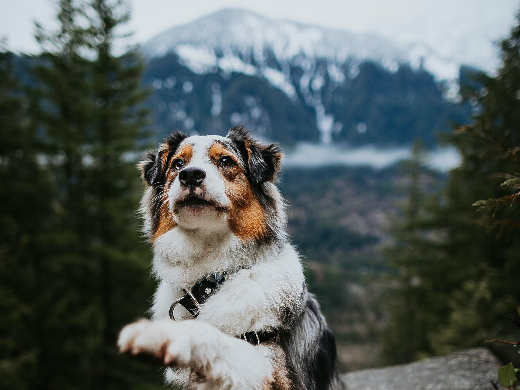 Australian Shepherd named Koda shakes for the camera while standing amidst the North Cascades mountains