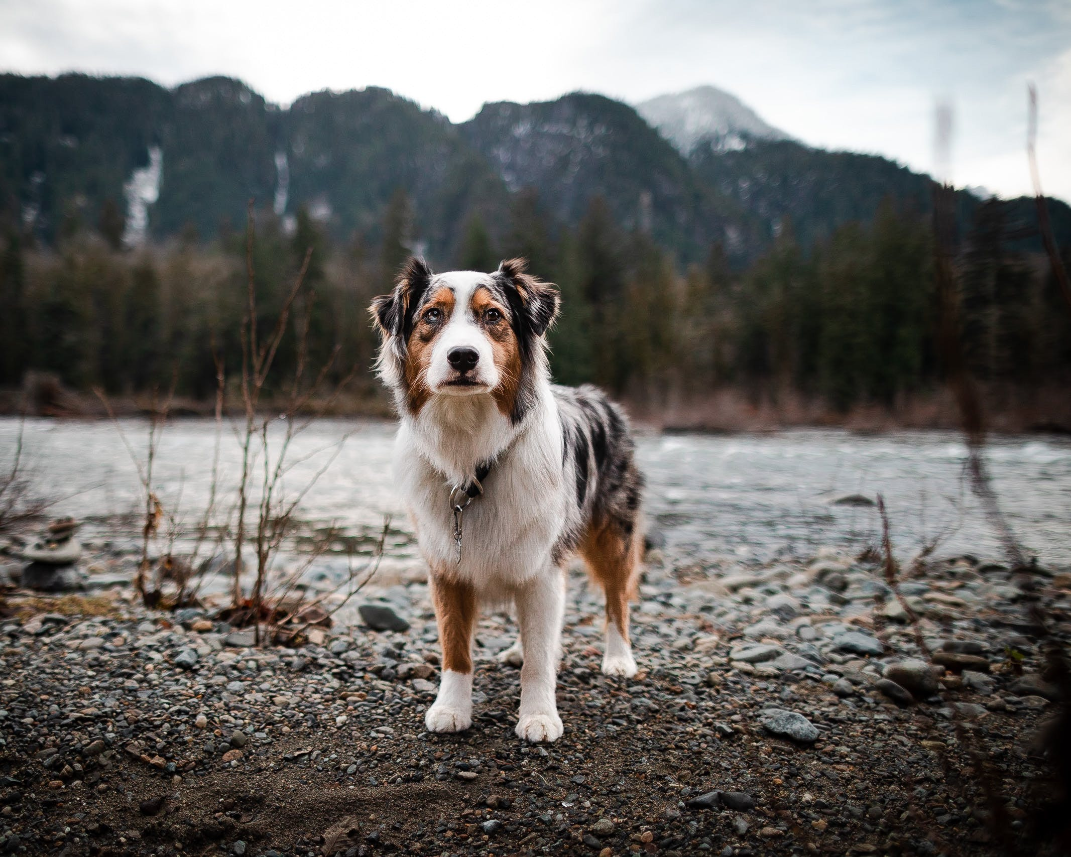 Australian Shepherd stands beside a river in the North Cascades