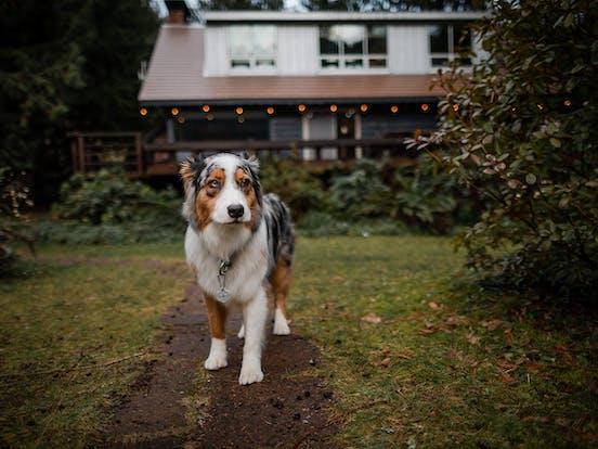 Australian Shepherd name Koda who stayed at a Vacasa rental