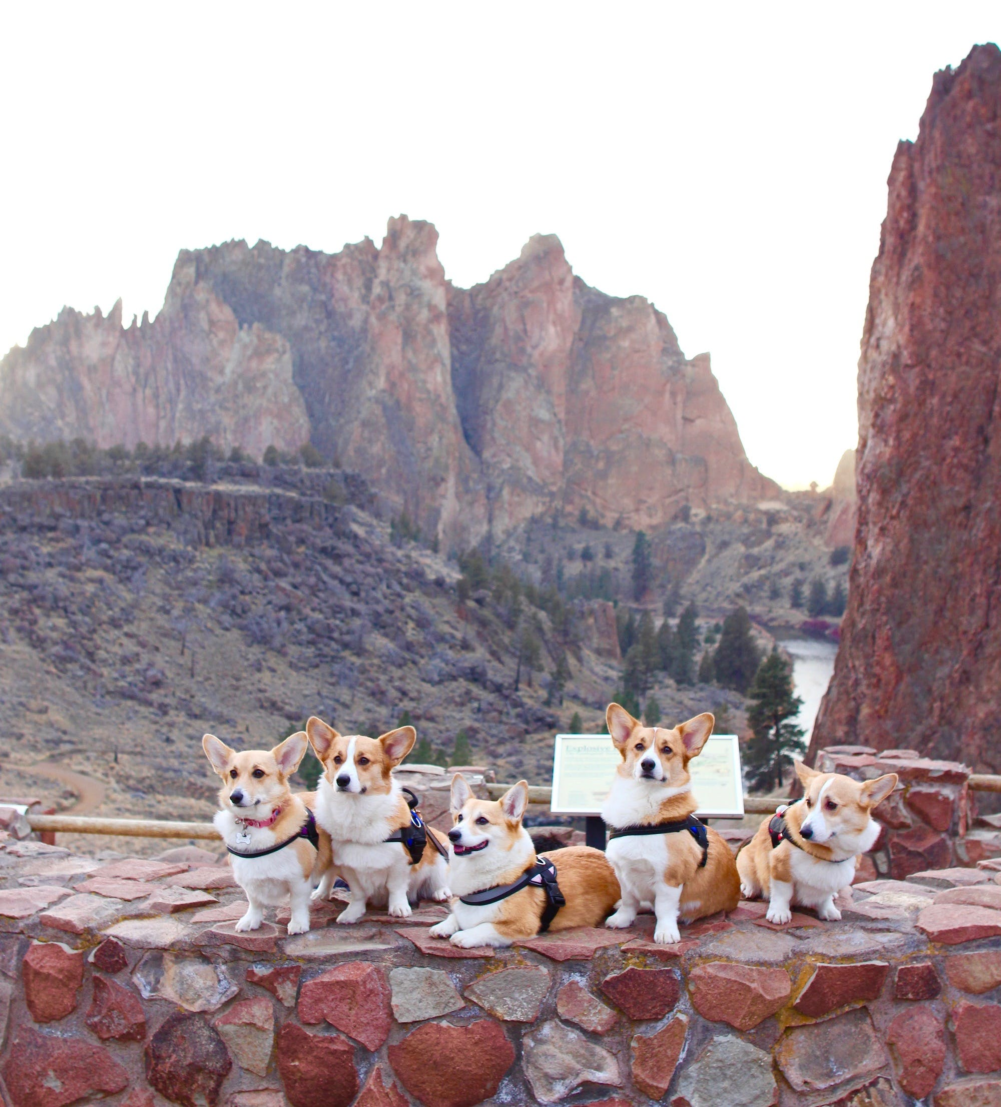 A group of corgis in the mountains in Oregon