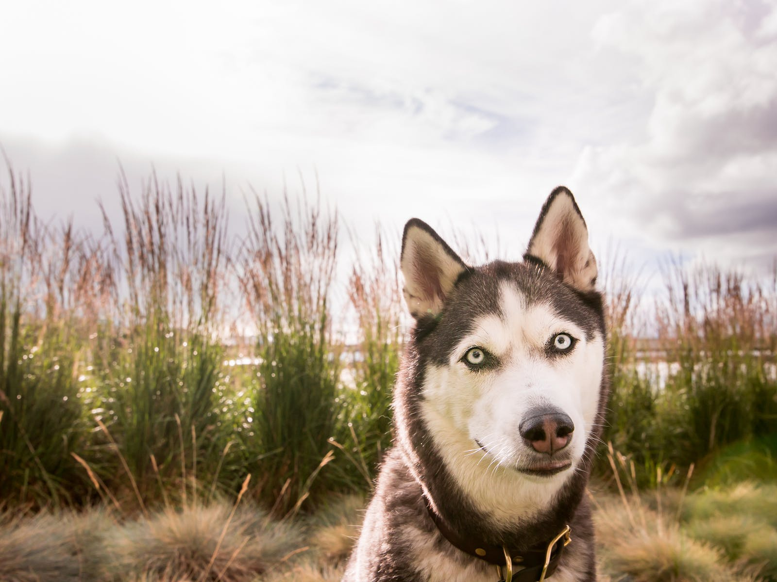 Siberian husky standing in front of beach grasses