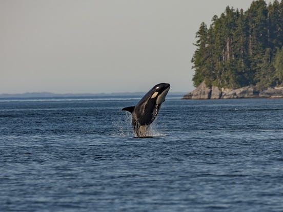 Whale leaps out of the water in the San Juans