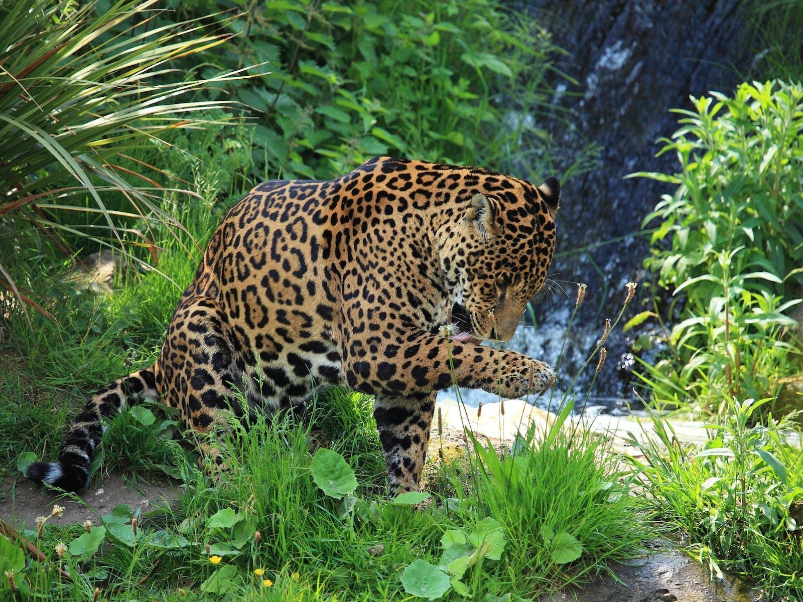 jaguar cleaning itself