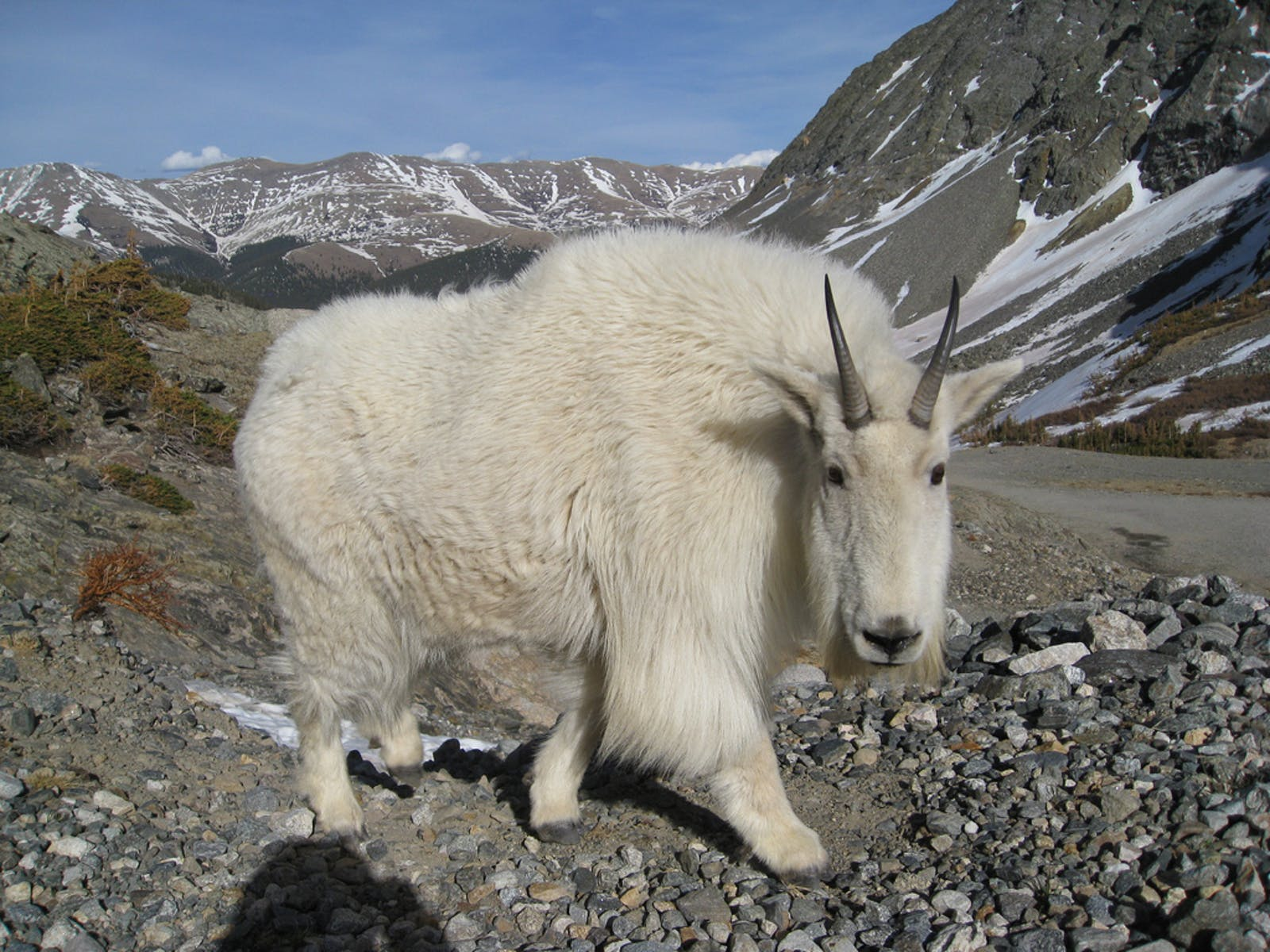 a close up photo of a Mountain goat on Quandary Peak