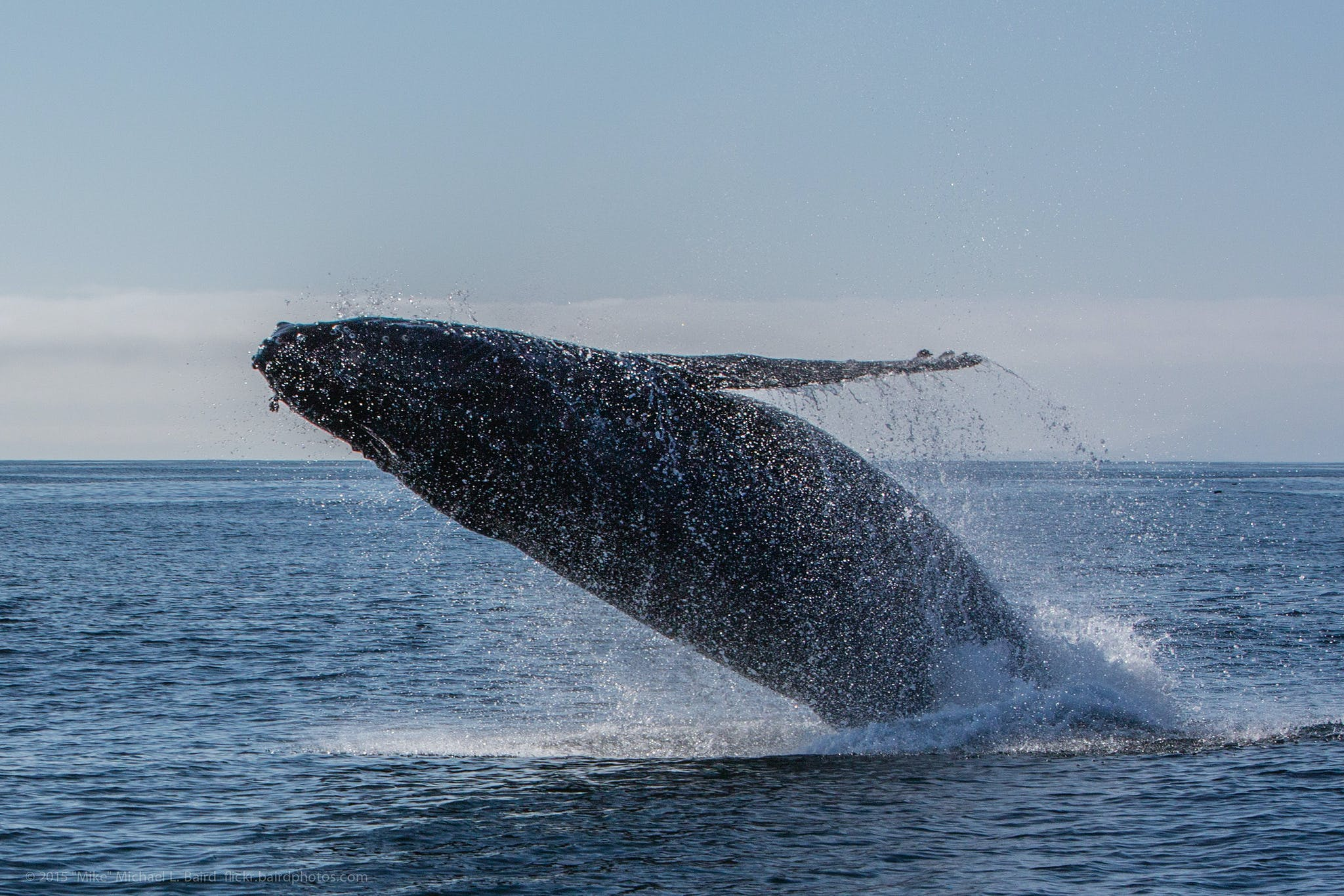 a humpback whale breaching the water