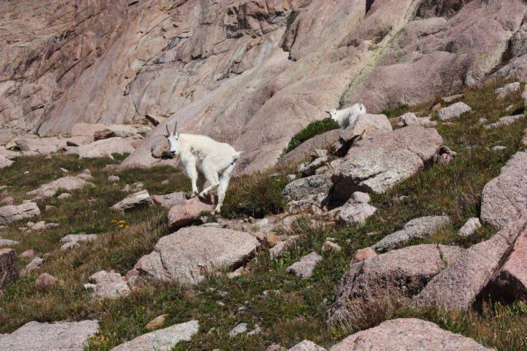 mountain goats on rocks at Windom Peak