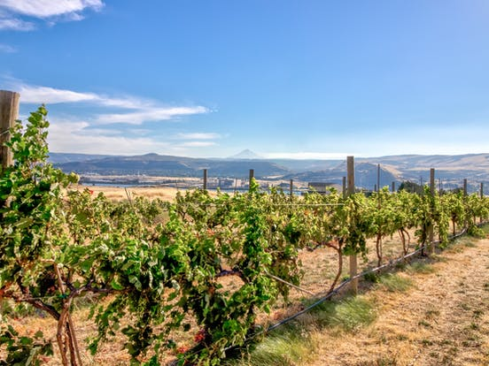 vineyard in the columbia river gorge area