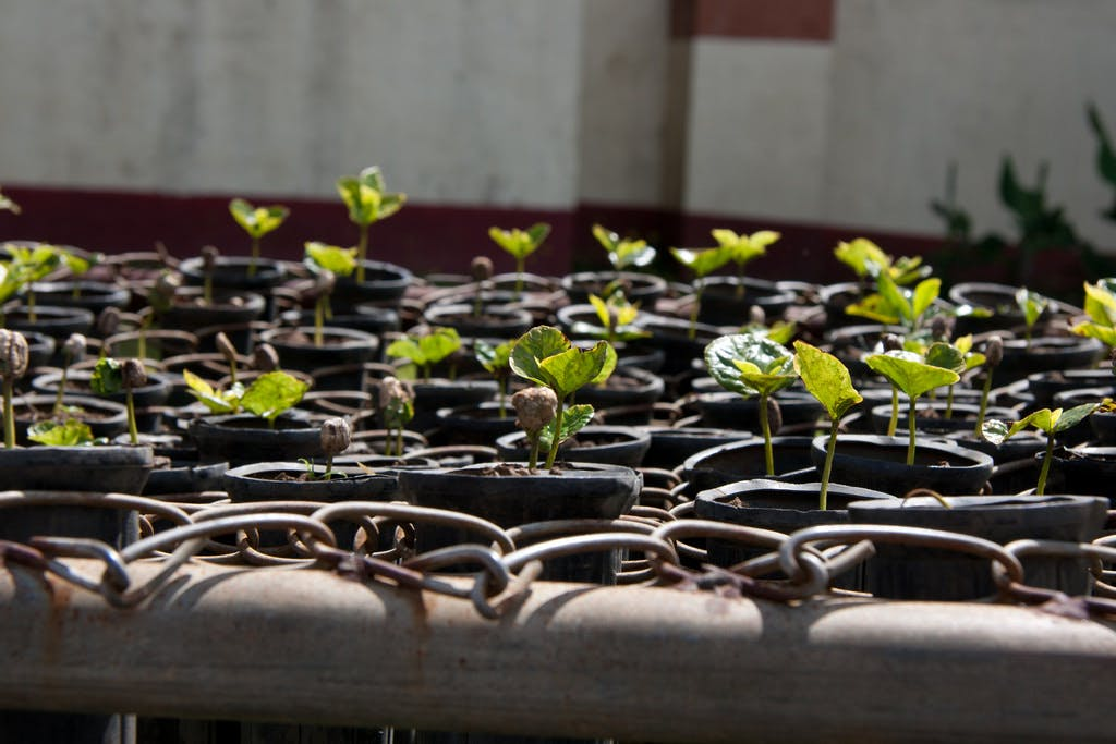 Sprouted coffee plants