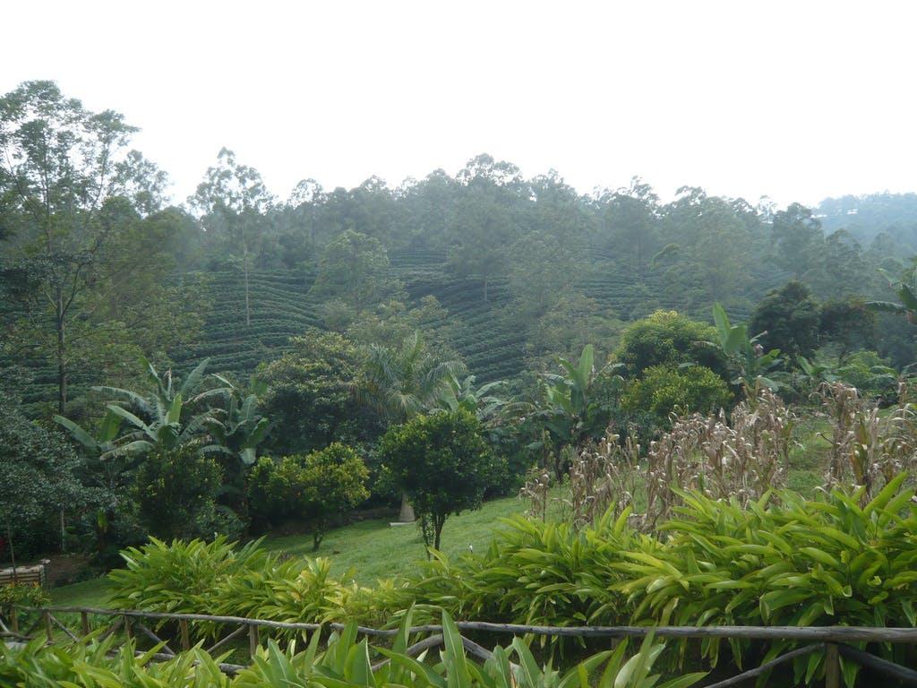 Espíritu Santo coffee field