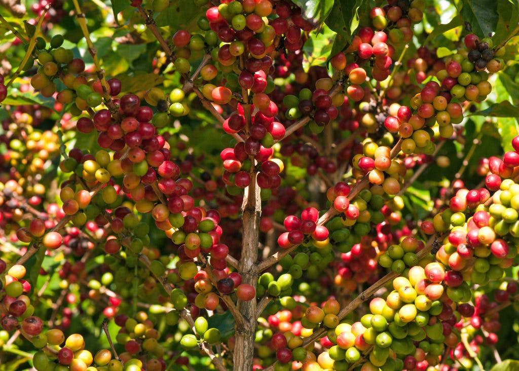 a high resolution photo of a coffee plant