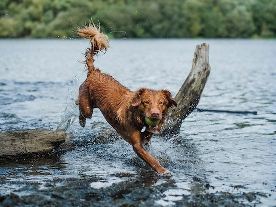 dog playing with tennis ball in lake