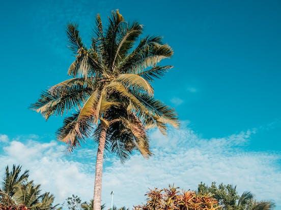 Palm tree in Belize