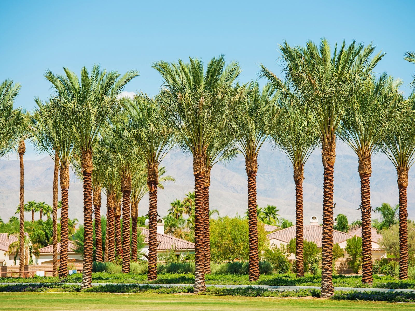 A grove of palm trees in Coachella Valley, CA