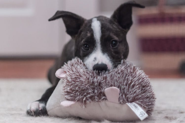 a puppy playing with his toy