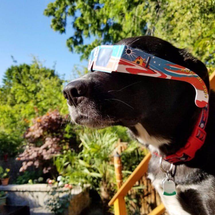 a dog wearing glasses for the solar eclipse
