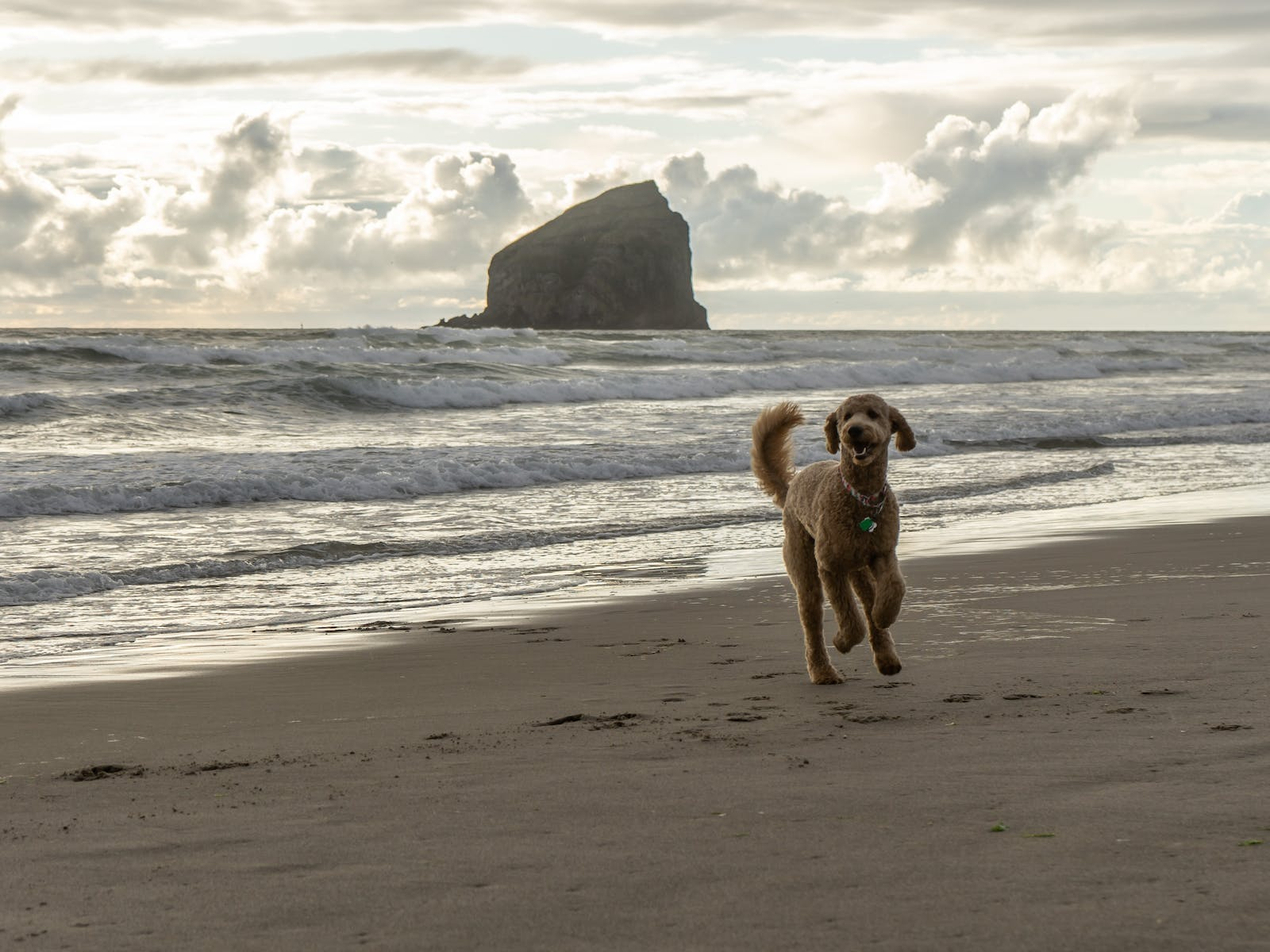 goldendoodle plays on the beach on the coast of Oregon