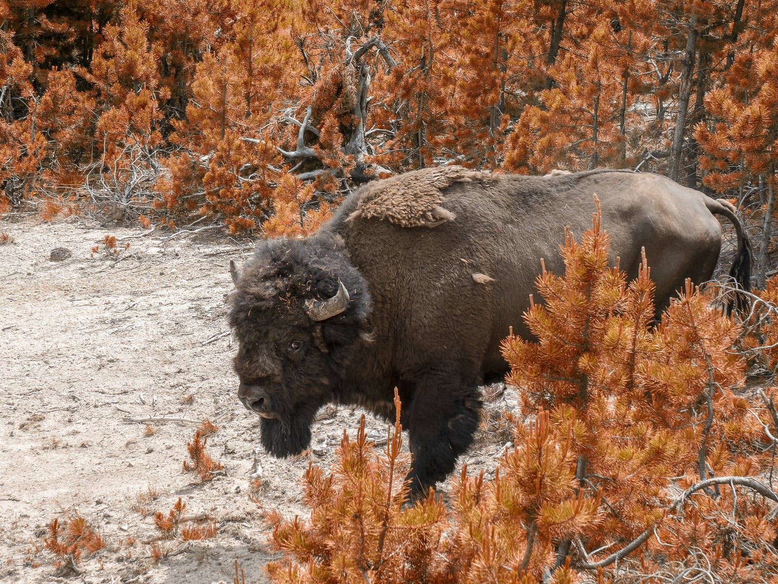 a roaming bison in yellowstone national park