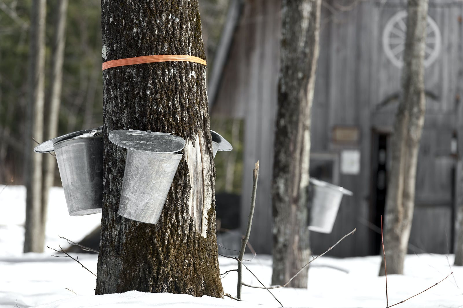 maple syrup collection from a tree