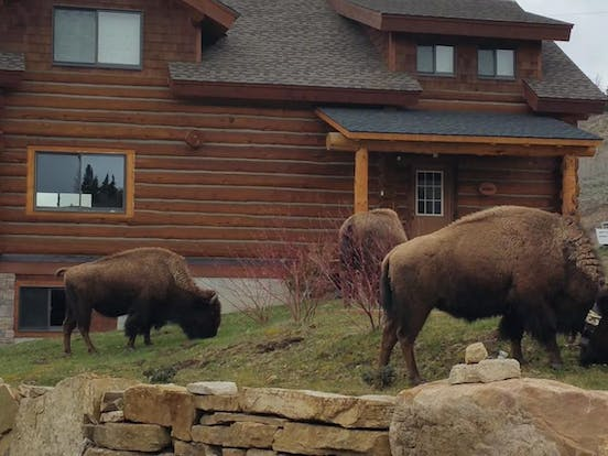 Bison wandering outside of a West Yellowstone vacation rental